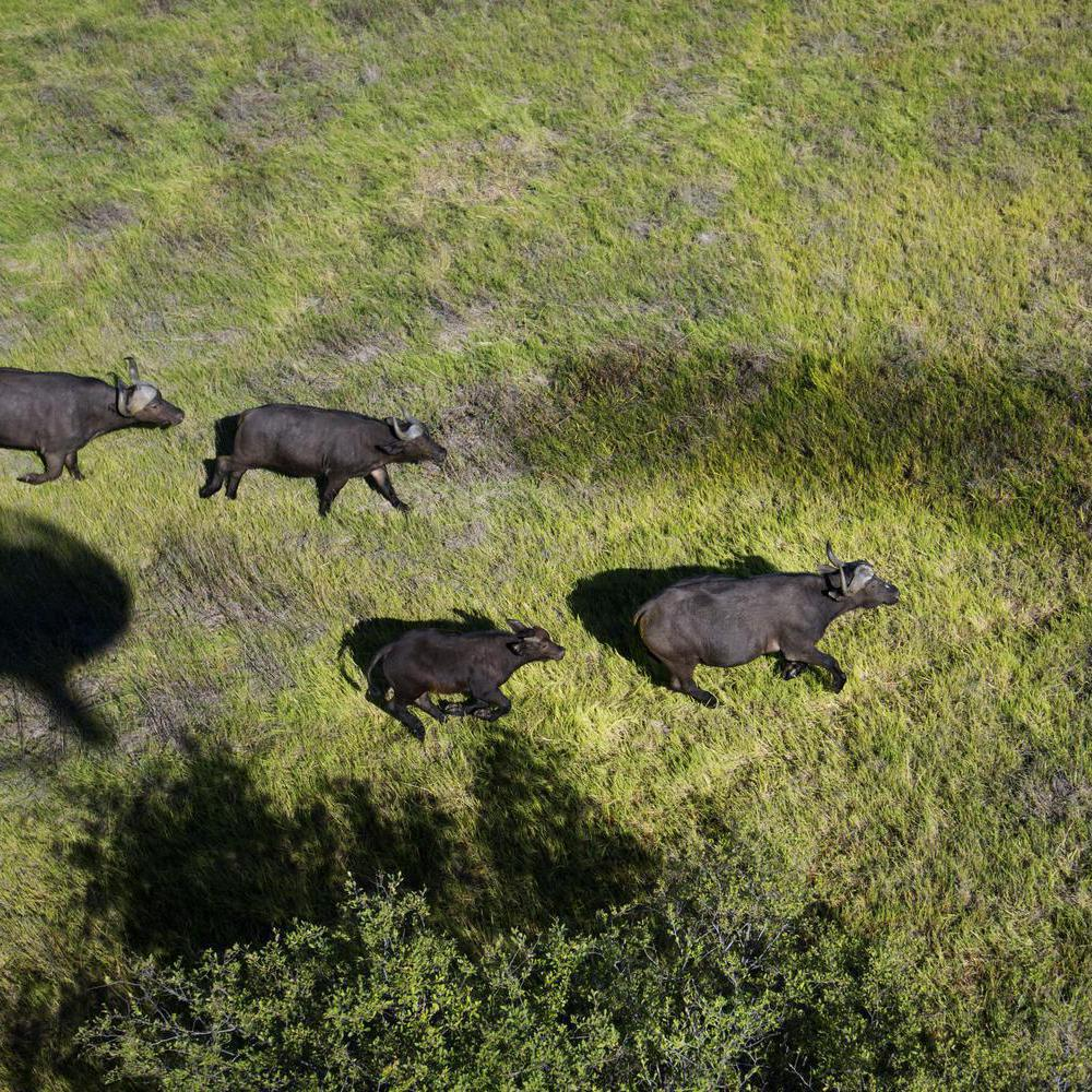Buffalo from above.